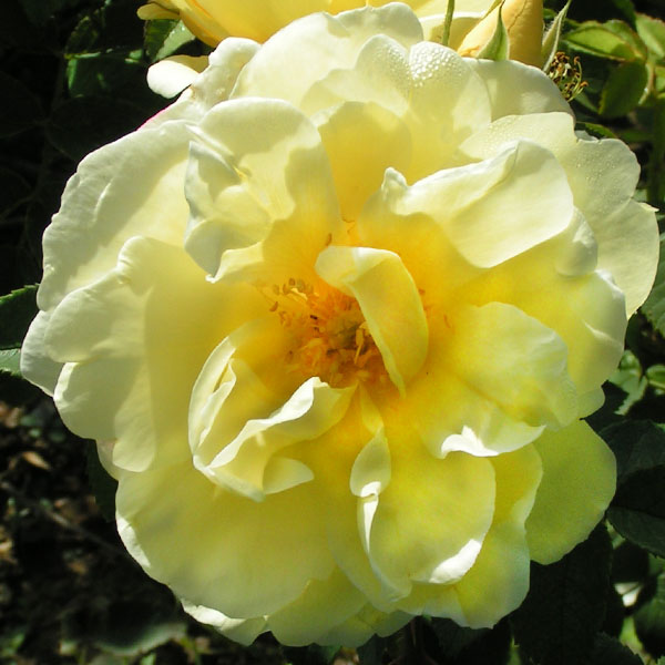 Yellow Dagmar Hastrup - Rugosa Rose