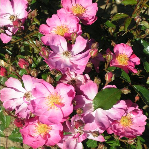Yesterday - Pink Shrub Rose