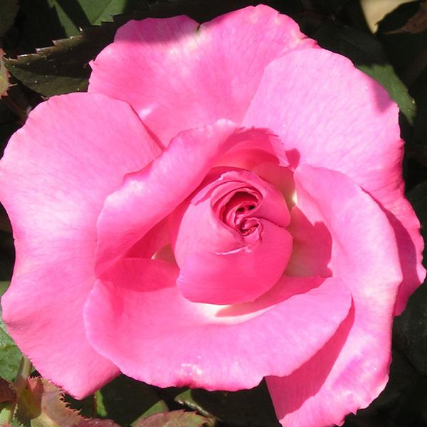 Zepherine Drouhin - Pink Climbing Rose