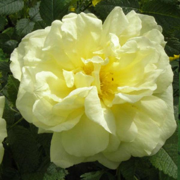 Agnes Rose Bush Trevor White Roses Buy Quality Mail