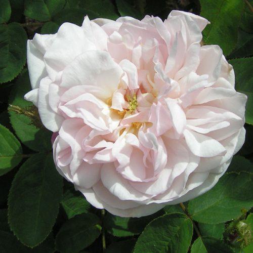 Alfred de Dalmas - Pink Moss Rose