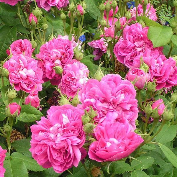 Amanda Paternotte - Pink Damask Rose