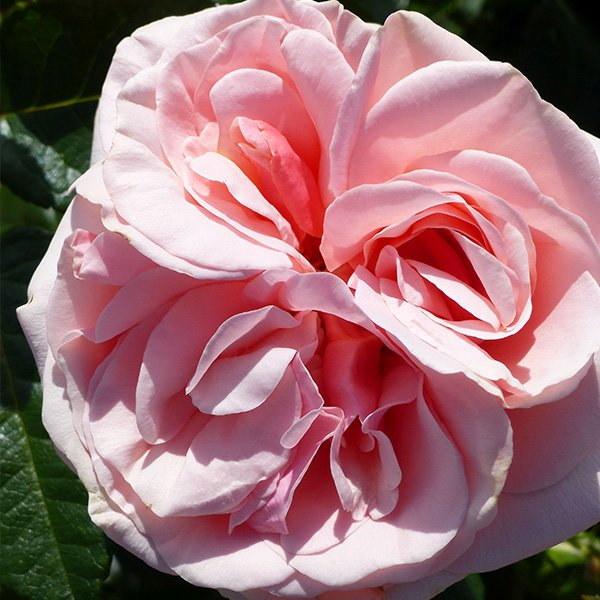 Aphrodite - Pink Nostalgic Rose