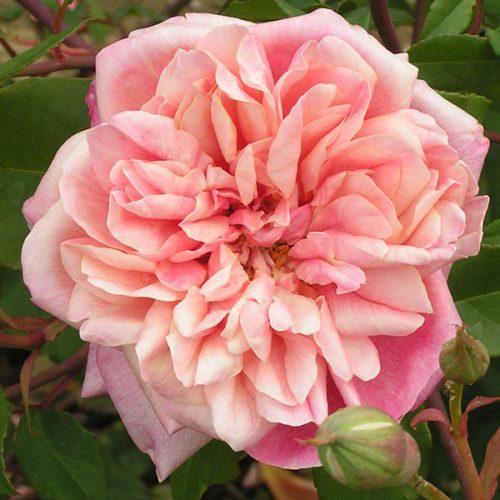 Archiduc Joseph - Pink Rose