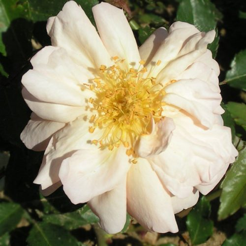 Arethusa - China Rose