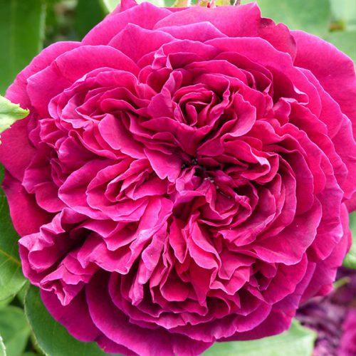 Arthur de Sansal - Damask Rose