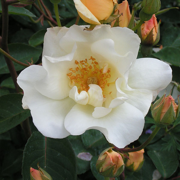 Autumn Delight - Apricot Hybrid Musk Rose