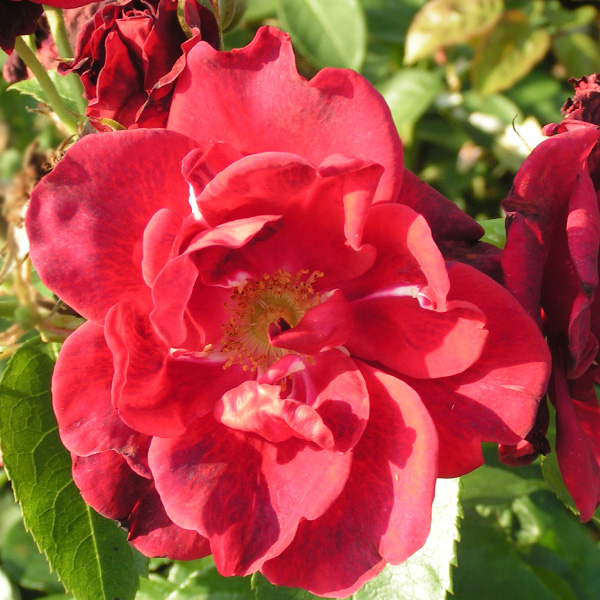 Autumn Fire - Red Shrub Rose