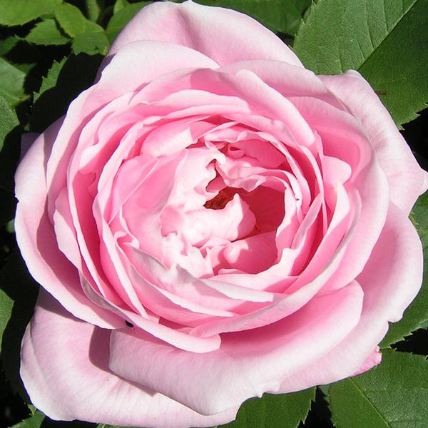 Baroness Rothschild - Pink Hybrid Perpetual Rose