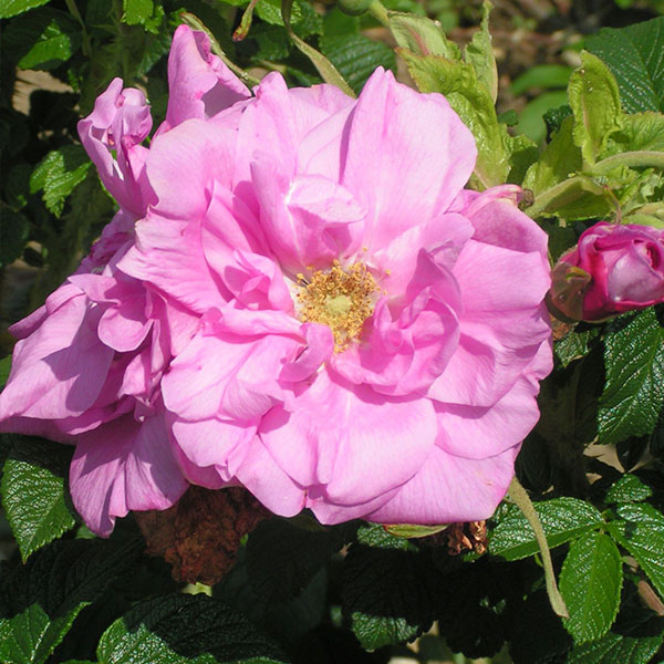 Belle Poitevine - Pink Rugosa Rose