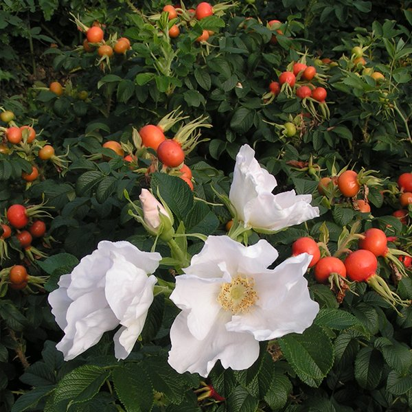 Rugosa alba with red hips