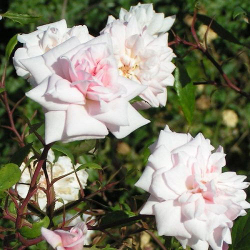 Bloomfield Abundance - Pink China Rose