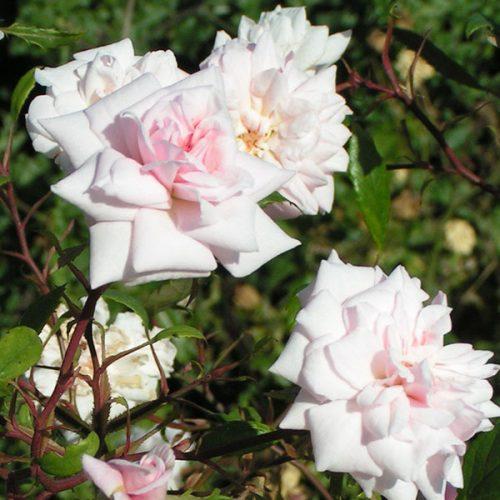 Bloomfield Abundance - Pink China Rose