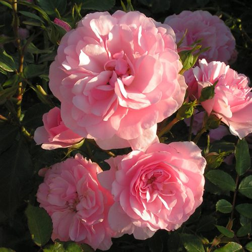 Bonica - Pink Shrub Rose