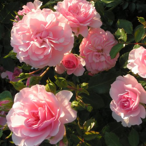 Bonica - Pink Shrub Rose