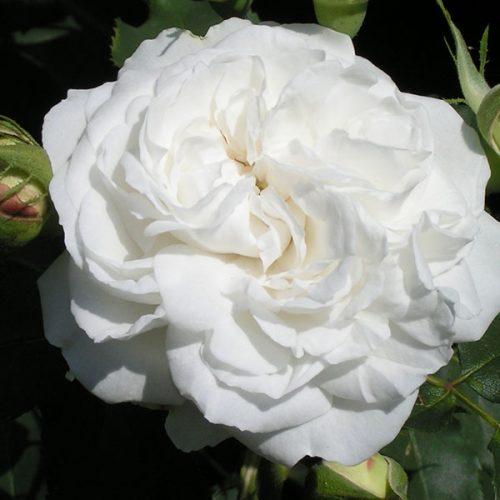 Boule de Neige - White Bourbon Rose