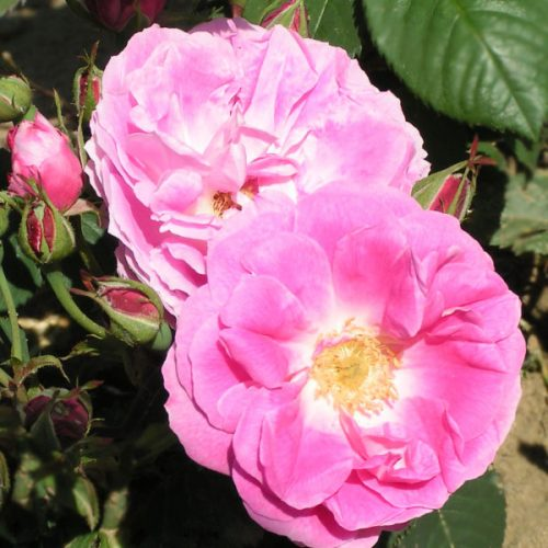 Bourbon Queen - Pink Bourbon Rose