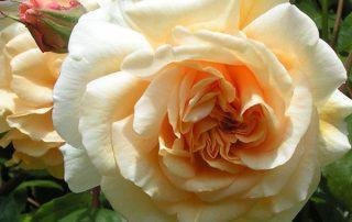 Buff Beauty - Buff Hybrid Musk Rose