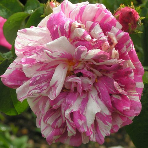 Camaieux - Striped Gallica Rose