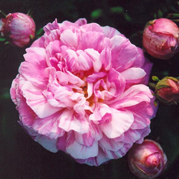 Camaieux - Striped Gallica Rose