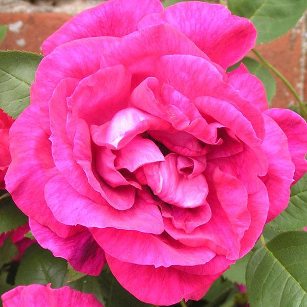 Captain Haywood -Pink Hybrid Perpetual Rose