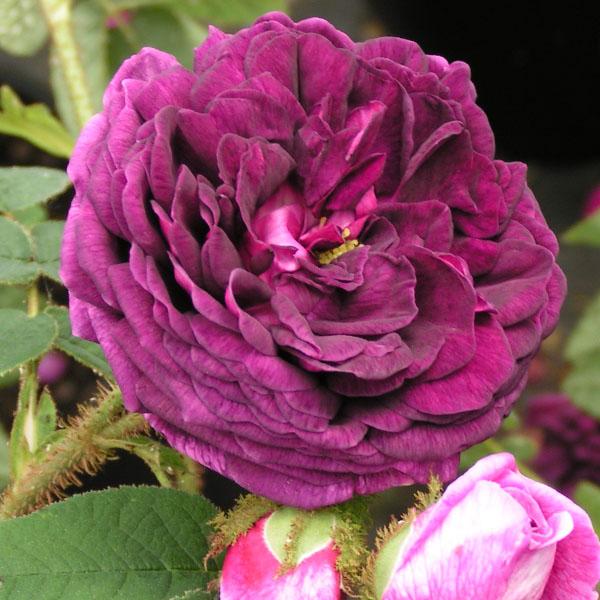 Captaine John Ingram - Purple Moss Rose
