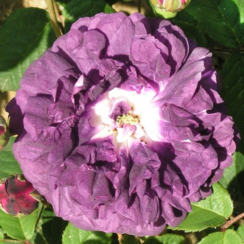 Cardinal de Richelieu - Purple Gallica Rose
