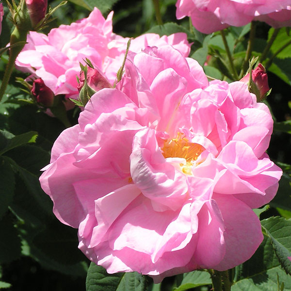 Celsiana - Pink Damask Rose