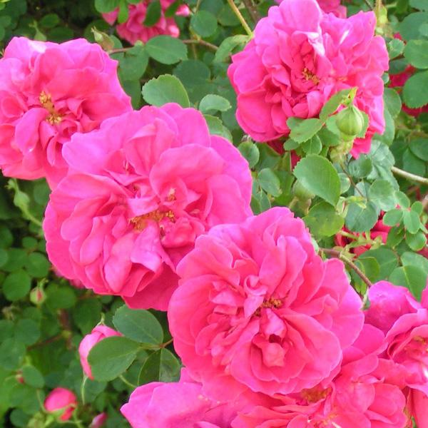 Cerise Bouquet - Pink Shrub Rose