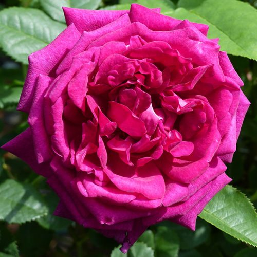 Chianti - Pink Shrub Rose