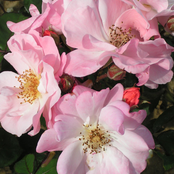 Clair Matin - Pink Shrub Rose