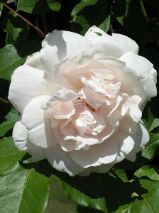 Mme Alfred Carriere - Cream Climbing Rose