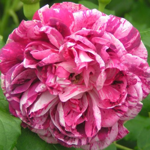 Commandant Beaurepaire - Striped Bourbon Rose