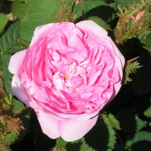 Common Moss - Pink Moss Rose