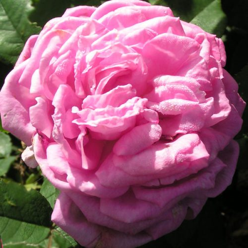 Comtesse Cecile de Chabrillant - Pink Hybrid Perpetual Rose