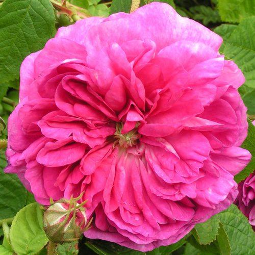 Duc de Guiche - Gallica Rose