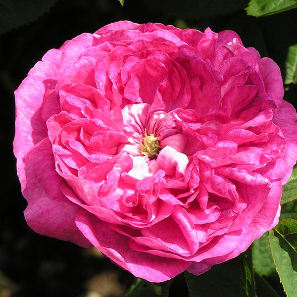 Duchesse de Buccleugh - Pink Gallica Rose