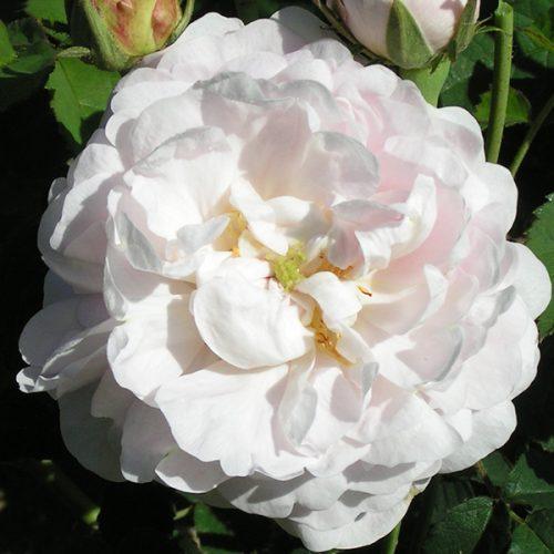 Duchesse de Montebello - Gallica Rose