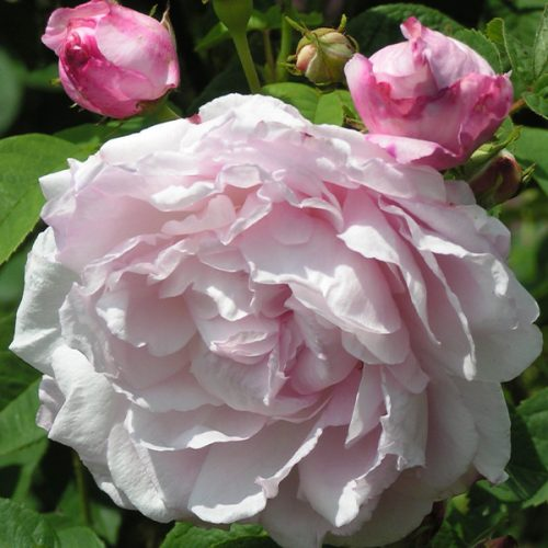 Duchesse D'angouleme - Pink Gallica Rose