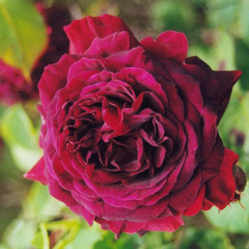 Emperor du Maroc - Red Hybrid Perpetual Rose