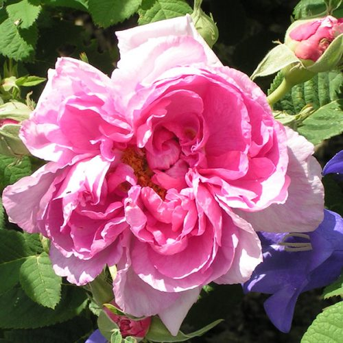 Empress Josephine - Pink Gallica Rose
