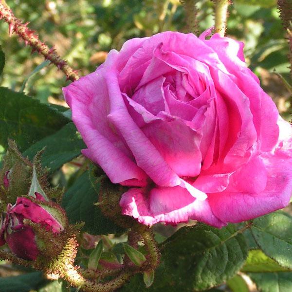 Eugenie Guinoiseau - Pink Moss Rose