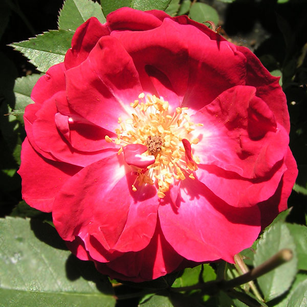 Fabvier - Red China Rose
