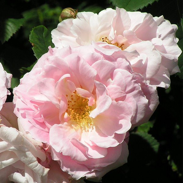 Fritz Nobis - Pink Shrub Rose