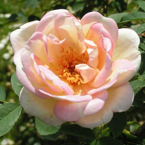 Fruhlingsduft - Shrub Rose