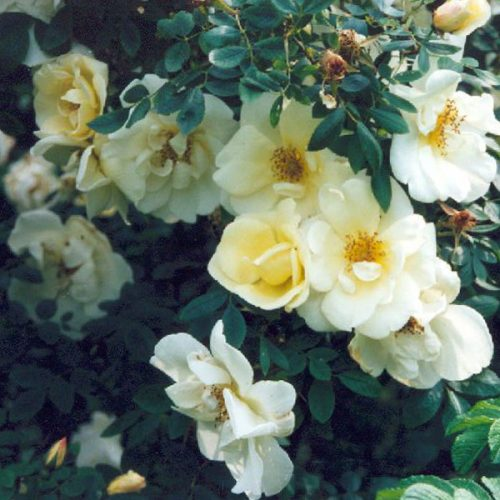 Fruhlingsgold - Yellow Shrub Rose