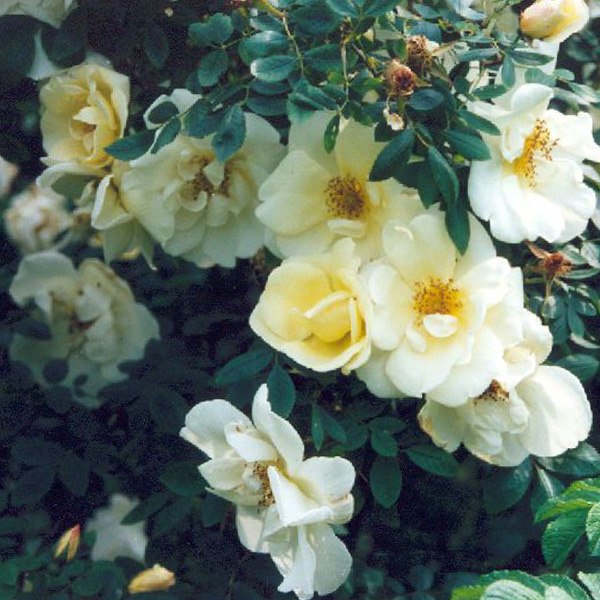 Fruhlingsgold - Yellow Shrub Rose