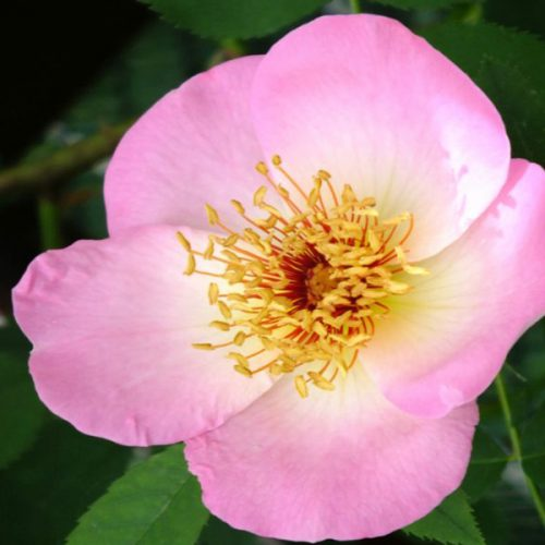 Fruhlingsmorgan - Pink Shrub Rose