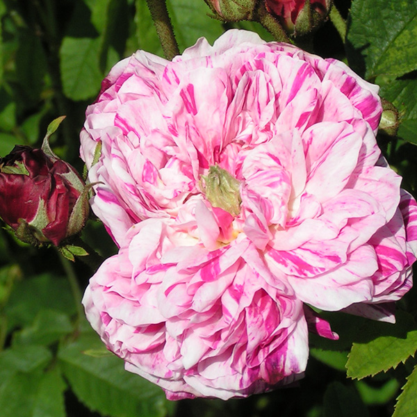 George Vibert - Striped Gallica Rose