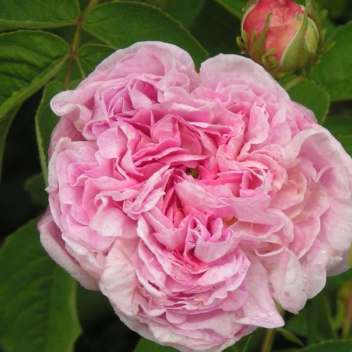 Gloria de France - Pink Gallica Rose